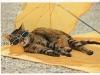cat-tag-germ