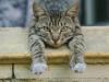 Cat male