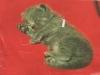 kitten-roosa