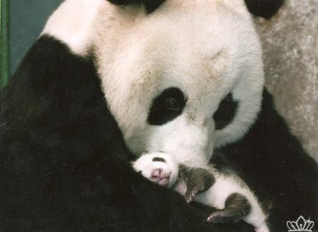 026, panda-tao